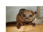Fennec fox, spotted genet and kinkajou for sale